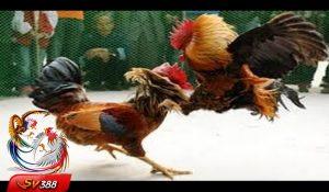 Cara Main Ayam Sabung Deposit Tanpa Lewat Bank